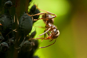 Black ant (Lasius niger) grooming. Bristol, UK, June.  -  James Dunbar