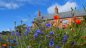 Static shot of long grass containing Cornflowers (Centaurea cyanus) and Common poppies (Papaver rhoeas), with a farmhouse in the background, Somerset, England, UK, August.  -  Michael W. Richards