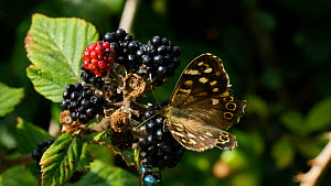 Speckled wood (Pararge aegeria) feeding on Blackberries (Rubus fruticosus), Somerset, England, UK, August.  -  Michael W. Richards