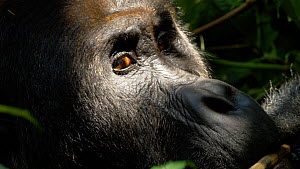 Close up of a silverback Eastern lowland gorilla (Gorilla beringei graueri) 'Chimanuka' feeding in undergrowth, Kahuzi-Biega National Park, South Kivu, Democratic Republic of Congo.  -  Jabruson Motion