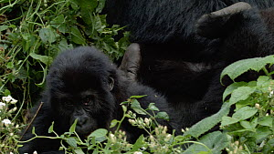 Juvenile Eastern lowland gorillas (Gorilla beringei graueri) playing near a silverback, Kahuzi-Biega National Park, South Kivu, Democratic Republic of Congo.  -  Jabruson Motion