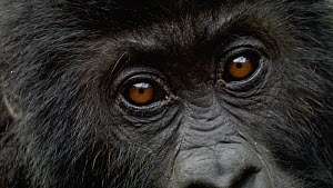 Close-up portrait of a juvenile Eastern lowland gorilla (Gorilla beringei graueri), Kahuzi-Biega National Park, South Kivu, Democratic Republic of Congo.  -  Jabruson Motion