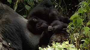 Silverback Eastern lowland gorilla (Gorilla beringei graueri) 'Chimanuka' grooming a juvenile female, shot pans to reveal other juveniles playing nearby, Kahuzi-Biega National Park, South Kivu, Democr...  -  Jabruson Motion