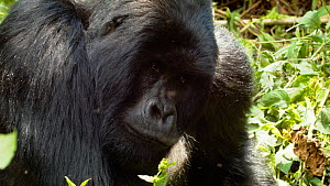 Silverback Mountain gorilla (Gorilla beringei beringei) from the 'Nyakamwe' family group looking at the camera before sitting back, Bukima, Virunga National Park, North Kivu, Democratic Republic of Co...  -  Jabruson Motion