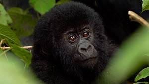 Close up of a baby Mountain gorilla (Gorilla beringei beringei) looking at the camera before moving back towards a silverback, Bukima, Virunga National Park, North Kivu, Democratic Republic of Congo.  -  Jabruson Motion