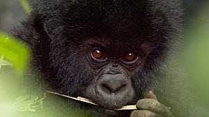 Close up of a baby Mountain gorilla (Gorilla beringei beringei) looking at the camera before leaving the frame, part of the À�NyakamweÓ family group, Bukima, Virunga National Park, North Kivu, Democ...  -  Jabruson Motion