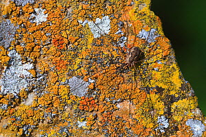 Common harvestman (Phalangium opilio) resting on a rock covered by lichen, Alpes de Haute Provence, France, October  -  Pascal Pittorino