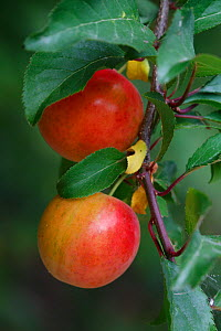 Ripe plums (Prunus domestica) on a branch  in an organic garden, Toulon, Var, Provence, France, June - Pascal Pittorino