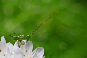 Juvenile Great Bush cricket (Tettigonia viridissima) resting on Neapolitan garlic (Allium neapolitanum) flowers in a garden, Toulon, Var, Provence, France, April - Pascal Pittorino