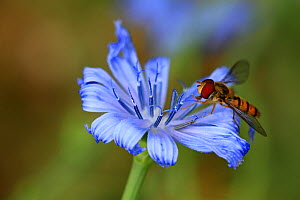 Marmalade hoverfly (Episyrphus balteatus) on Chicory flower (Cichorium intybus) in an organic garden, Var, Provence, France, May - Pascal Pittorino