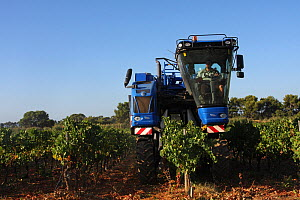Grape harvesting machine in a vineyard ( Vitis vinifera)  La Londe les Maures, Var, Provence, France, September  -  Pascal Pittorino