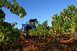 Grape harvesting machine in a vineyard ( Vitis vinifera). La Londe les Maures, Var, Provence, France, September  -  Pascal Pittorino