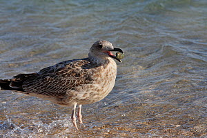 Yellow legged gull (Larus michaellis) juvenile with pebble in beak, Toulon, Var, Provence, France, September - Pascal Pittorino
