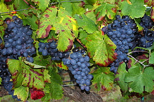 Ripe black grenache wine grapes  (Vitis vinifera) in a vineyard before harvest, La Londe les Maures, Var, Provence, France, September  -  Pascal Pittorino
