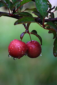 Ripe plums (Prunus domestica) on a branch in the rain in an organic garden, Toulon, Var, Provence, France, May - Pascal Pittorino