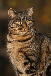Tabby cat adult (Felis catus) male, sitting in a garden portrait,Toulon, Var, Provence, France, November - Pascal Pittorino