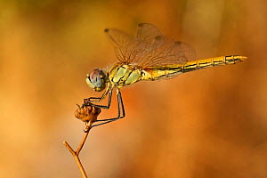 Red-veined darter (Sympetrum fonscolombii) female, perching on a dry plant in a garden, Toulon, Var, Provence, France, August - Pascal Pittorino
