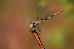 Red-veined darter (Sympetrum fonscolombii) female, perching on look out branch, Var, Provence, France, May  -  Pascal Pittorino