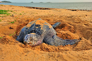 Leatherback sea turtle (Dermochelys coriacea) female on beach, covering nest after laying eggs, Montabo Beach, Cayenne, French Guiana. April.  -  Pascal Kobeh
