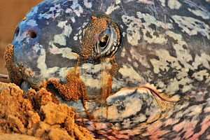 Close up of face of Leatherback sea turtle (Dermochelys coriacea) on land to lay her eggs, Montabo Beach, Cayenne, French Guayana. April.  -  Pascal Kobeh