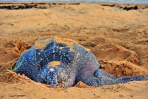 Leatherback sea turtle (Dermochelys coriacea) female, on beach covering nest after laying eggs, Montabo Beach, Cayenne, French Guiana. April.  -  Pascal Kobeh