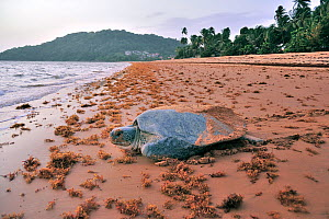 Green turtle (Chelonia mydas) returning to the sea after laying eggs, Montabo Beach, Cayenne, French Guiana. April.  -  Pascal Kobeh