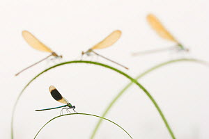 Banded demoiselle (Calopteryx splendens) group of four on plant stems, River Leijgraaf, Nijmegen, the Netherlands, August 2013. Finalist in the Invertebrate category of the Wildlife Photographer of th...  -  Edwin  Giesbers
