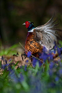 Ring-necked pheasant (Phasianus colchicus) male displaying among bluebells, woodland on shooting estate, southern England, UK. April. - Neil Aldridge