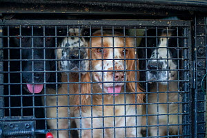 Gundogs waiting to be let out of their crate in the back of a gamekeeper's truck during a winter shoot on shooting estate, southern England, UK. January.  -  Neil Aldridge