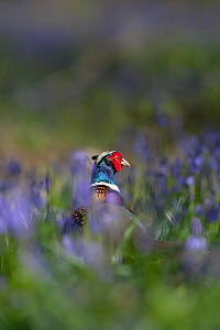 Ring-necked pheasant (Phasianus colchicus) male standing among bluebells during spring in woodland on shooting estate, southern England, UK. April. - Neil Aldridge