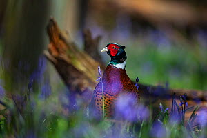 Ring-necked pheasant (Phasianus colchicus) male standing among bluebells during spring in woodland on shooting estate, southern England, UK, April. - Neil Aldridge