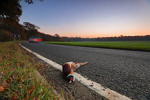 Ring-necked pheasant (Phasianus colchicus) male lies dead on the side of a road near shooting estate, southern England, UK. November. Of the millions of pheasants released into the British countryside... - Neil Aldridge
