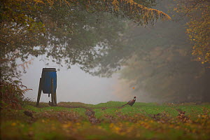 Ring-necked pheasants (Phasianus colchicus) feed at a feeding station or hopper in a clearing in woodland during autumn on a shooting estate, England, UK, November. - Neil Aldridge
