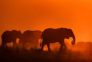 African elephant (Loxodonta africana) herd silhouetted at sunset, Chobe National Park, Botswana. - Sharon Heald