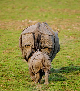 Indian rhinoceros (Rhinoceros unicornis) mother and calf, rear view. Kaziranga National Park, Assam, India. Vulnerable species - Tony Heald