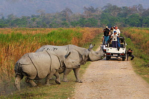 Indian rhinoceros (Rhinoceros unicornis) mother and calf, with tourists in jeep watching them, Kaziranga National Park, Assam, India. Vulnerable species. - Tony Heald