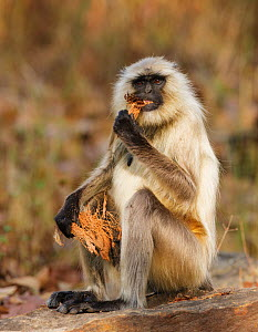 Hanuman langur (Semnopithecus entellus) eating coconut husk, Bandhavgarh National Park, India. March.  -  Tony Heald