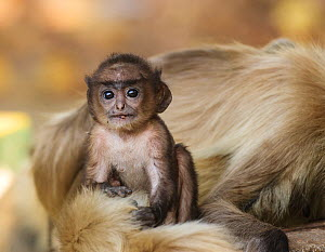 Hanuman langur  (Semnopithecus entellus) baby next to mother, Bandhavgarh National Park, India.  -  Tony Heald
