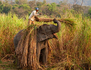 Asian elephant (Elephas maximus) domesticated elephant working, picking reeds, Kaziranga National Park, Assam, India, March 2009. - Tony Heald