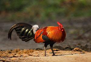 Junglefowl (Gallus gallus) male, Kaziranga National Park, Assam, India, March.  -  Tony Heald