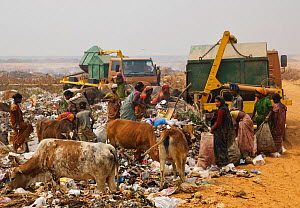 Indian women on landfill site, picking through the rubbish, with cattle, Guwahti, Assam, India, March 2009.  -  Tony Heald