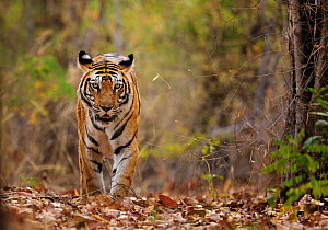 Bengal tiger (Panthera tigris tigris) walking, Bandhavgarh National Park, India.  -  Tony Heald