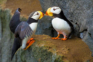 Horned puffins (Fratercula corniculata), one landing with outspread wings, to join its mate on cliff ledge, St. Paul Island, Pribilofs, Alaska, USA, July. - Marie  Read