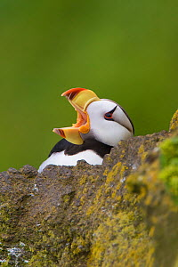 Horned puffin (Fratercula corniculata), close-up with open bill (yawning), St. Paul Island, Pribilofs, Alaska, USA. The rearward-facing spines visible on its palate enable it to carry multiple fish at... - Marie  Read