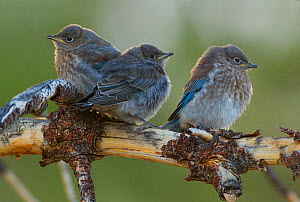 Mountain bluebirds (Sialia currucoides), three fledglings, Parker Canyon, Mono Lake Basin, California, USA, June.  -  Marie  Read