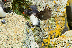 Parakeet auklet (Aethia psittacula), climbing up steep rock with outspread wings for balance, St. Paul Island, Pribilofs, Alaska, USA, July.  -  Marie  Read