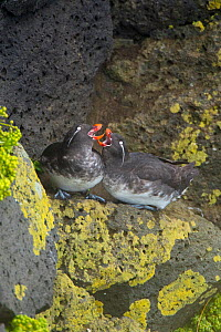 Parakeet auklets (Aethia psittacula) pair calling together while perched on rock on cliff face, St. Paul Island, Pribilofs, Alaska, USA, July.  -  Marie  Read