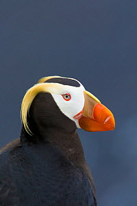 Tufted puffin (Fratercula cirrhata), close-up portrait, St. Paul Island, Pribilofs, Alaska, USA, July. - Marie  Read