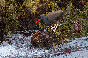 Black oystercatcher (Haematopus bachmani), foraging amid seaweed-covered rocks along the water's edge, Monterey Peninsula, California, USA, October.  -  Marie  Read