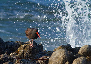 Black oystercatcher (Haematopus bachmani), on a rock with crashing wave behind it, Point Pinos, Monterey Peninsula, California, USA, October.  -  Marie  Read